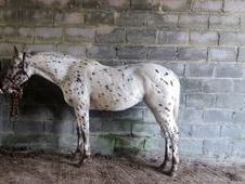 USA 2015 Appaloosa Filly