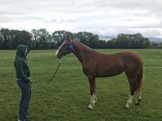 Full Irish Draught yearling filly by Scrapman x Clonakilty Hero
