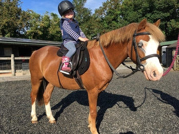 11.3hh handsome welsh section A chestnut gelding