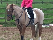 13. 3hh strawberry roan
