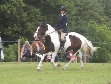 Safe all-rounder 15hh Coloured Cob for Full Loan/Part Loan