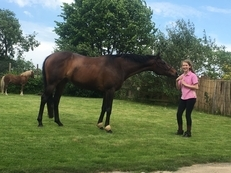 Stunning Bay mare 16.1 full loan
