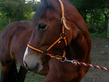 Welsh D mare 14. 3hh 4 year old broken to ride