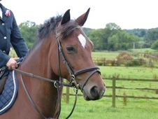 Striking 13. 1hh 6yr old fully papered Welsch Section C Bay Mare