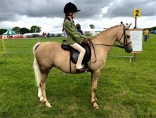 Beautiful 12. 2 hh Palomino pony
