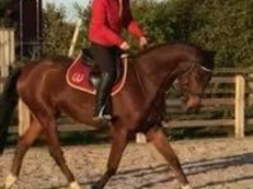 Quality 4 year old gelding