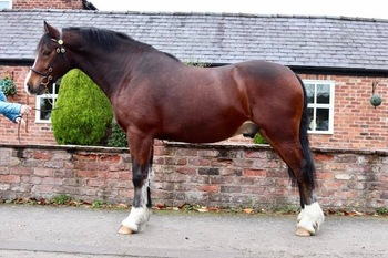 **SOLD** HOYS QUALITY M&M Rising 4, 14'3hh Sec D Gelding