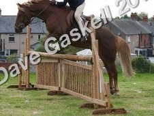 Stunning New Forest Gelding!