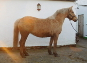 PRETTY WELSH PART- BRED PALOMINO MARE WITH GREAT POTENTIAL - OTHER QUALITY STOCK AVAILABLE FOR SALE, BOTH FULL WELSH COB SECTION D AND WELSH PART-BRED