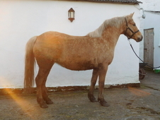 Pretty welsh part- bred palomino mare with great potential - othe...