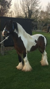 Jack The Lad Traditional Cob Stallion