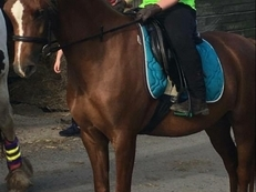 Stunning Welsh Sec B, 4yr old, 12.2hh, Mare