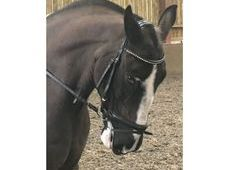 Alfie 16hh, cracking all rounder, ideal mother/daughter share