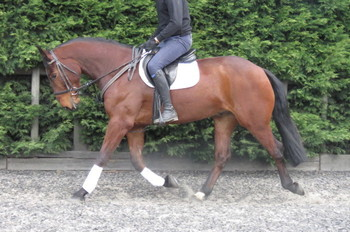 SUPERB RIDING CLUB HORSE/HUNTER/EVENTER/WORKING HUNTER