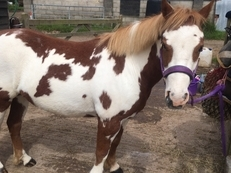 **Reduced** 12.2hh Welsh x - serious showing prospect We have come to the very difficult decision to sell our very unique and unusually marked 12.2hh-12.3hh coloured welsh x, we believe she is crossed with a quarter horse. She has just turned 6 years old