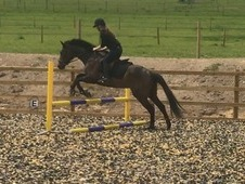 Gentle friendly 16hh TB mare 7years- great potencial