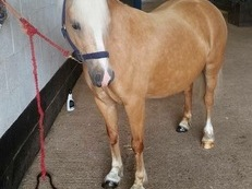 12.1 HH registered section C, 6years old palomino mare. £2500