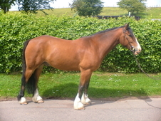 Horses and ponies for sale and wanted, Selling, Schooling Breakin...