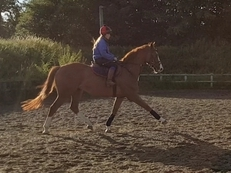 16.2 4yr old chestnut gelding with exceptional paces