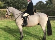 Potential Event/ Hunt Gelding