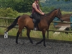FOR LOAN - 16.3hh, 17 yr old TB bay
