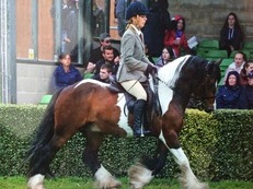 14.1hh 8 Yrs CHAPS Reg Traditional show Cob gelding