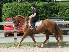 REGISTERED IRISH DRAUGHT CHESTNUT MARE 15. 2HH 7 YEARS