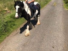 14hh 4 year old mare black and white.
