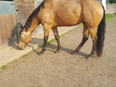 BUCKSKIN QUARTER HORSE JUST 7YRS 15. 3H
