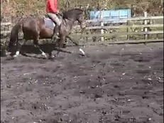 15.3hh 4 year old WB gelding