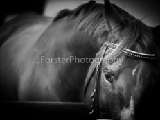 JForster Photography - Equine & Canine Photography