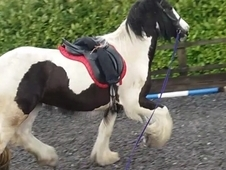 REDUCED Young project 14. 3hh cob x for sale