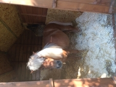our beautiful mini Shetland pony for sale