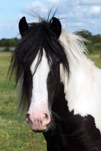 Coloured cob 15'2 for loan