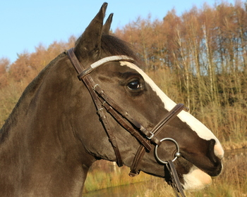 14.2HH FANTASTIC CONFIDENCE GIVING DARK BAY MARE