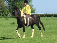 CHAPS registered Irish Sports Pony, Ride and Drive, 14. 1hh Tobia...