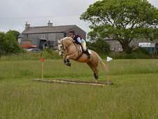 15. 1hh Palamino WPB the ultimate allrounder