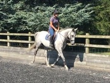 Handsome unspoilt low mileage grey gelding
