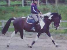 15.2hh 12 year old skewbald mare