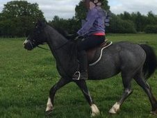 Blue roan mare for sale