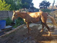 Dark Golden Palomino mare