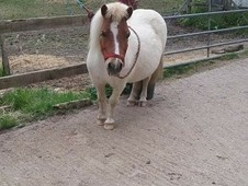 IMHPS Registered Miniature Horse for Sale