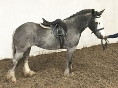 Mothers dream pony .Ride and Drive all rounder