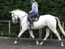 Superb riding club horse/hunter