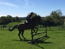 Arny - 16. 1 hh 8 Year Old Bay Gelding