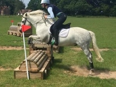 For sale 14.2hh Connemara gelding