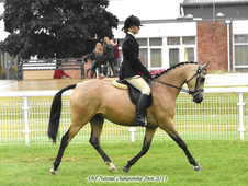 Lovely 14hh Dressage/show pony
