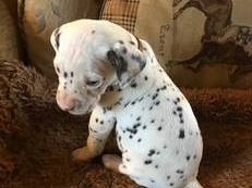 fabulous dalmatian puppies