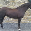 welsh section c chestnut mare 13.2