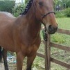 Lovely gelding cob x for sale - Project